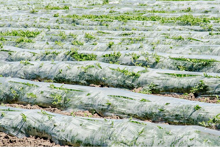 Asparagus_field_Darmstadt