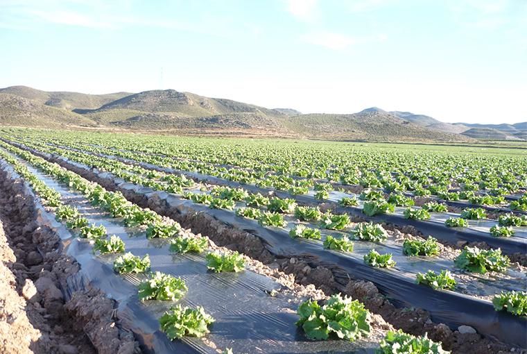 imagesa.jpgagriculture-basil-bunch